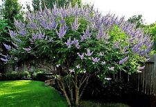 Vitex agnus-castus / Chaste Tree / 30 Seeds for Sowing