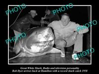 OLD POSTCARD SIZE PHOTO OF GREAT WHITE SHARK BEEN CAUGHT BY BOB DYER c1958
