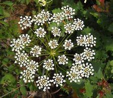 100 Graines non traitées d' ANIS VERT à semer - Pimpinella anisum