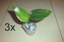 3x *PFLANZE* Strelitzia nicolai, weiße Paradiesvogelblume, kräftige Jungpflanze