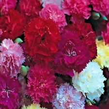 Carnation - Hardy Border Mix - Appx 300 seeds - Perennial