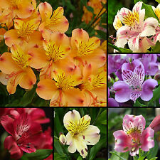 12 Samen Inkalilie Mix - Alstroemeria - Hybriden - Lilie - Peruvian Lily seeds