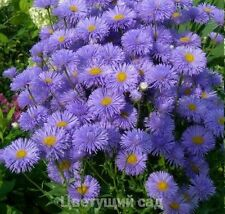 Erigeron speciosus Blue perennial Flower Seeds from Ukraine