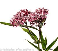 ASCLEPIAS INCARNATA * WINTERHART * SEHR SELTEN * 50 Samen * Seidenpflanze