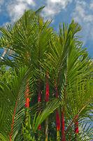 für drinnen: die wunderbare Siegellackpalme hat einen herrlich roten Stamm !