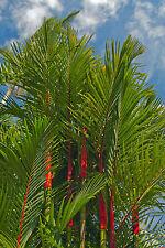 "La regina palme sigillo-VERNICE-Palma /""cyrtostachys renda/"" una magnifica bellezza"