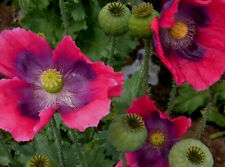 Hen's and Chick's Poppy 100 Seeds! SEE OUR STORE OVER 800 RARE KINDS OF SEEDS!