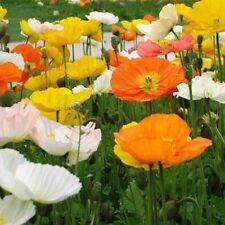 Poppy- Alpine Mix- 200 Seeds- 50 % off sale