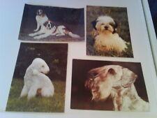 Shih-Tzu Welpe-Böhmischer Terrier-Bernhardiner-Bedlington Terrier-- AKs von 1985