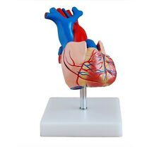 Heart Model -  Life-Size Human Anatomy Model