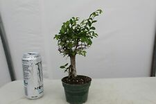 Chinese elm Stump Pre-Bonsai Tree! Cold Hardy w/ Small leaves,shohin,Che1