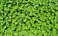 - gotU Kola Hydrocotyle asiatica planta medicinal contra el estrés y envejecimiento de las celdas