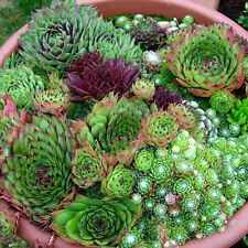 Hen and Chickens Sempervivum mix 20 seeds *Easy grow* succulent CombSH C23