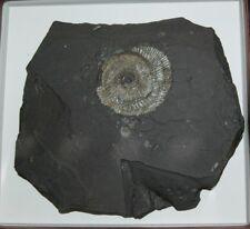 Ammonit Holzmaden Baden Württemberg Fossil Versteinerung Stuttgart Schwarzer Jur