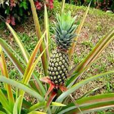 Pina - Plants Md2 - Pinas Ananas 3 Very Healthy Offshoots , Puerto Rico