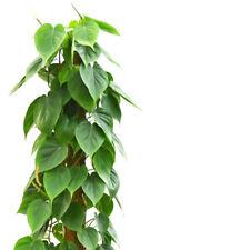 Limonengrüner Baumfreund Philodendron Scandens BRAZIL Deko