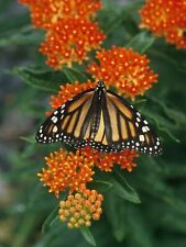 Butterfly Milkweed SAVE THE MONARCH BUTTERFLY BY PLANTING SEEDS COMB/ SHIPPING