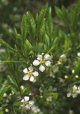 5 CHERRY PRINSEPIA Chinese Sinensis Edible Red Fruit Tree Shrub Flower Seeds