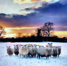 Charity Christmas Cards SHEEP IN SNOW Helen & Douglas House Boxed Packs of 10