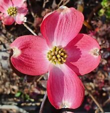 CORNUS FLORIDA SUNSET 1 pianta vaso 18cm corniolo da fiore rosso