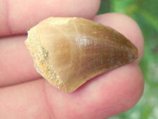 Mosasaur Morocco Late Cretaceous ASTONISHING DINOSAUR FOSSIL MOSASAUR TOOTH