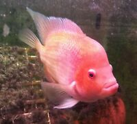 "4 Golden Flame Flowerhorn FRY 2""-2.5"" Live Freshwater Aquarium Fish"