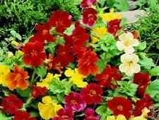 FLOWER - MIMULUS TWINKLE MIXED - 500 SEED