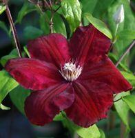 "Velvety Crimson Flowers Clematis Red Cardinal Vine Live Plant 2.5"" Pot Garden"