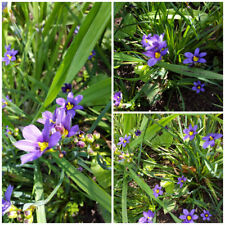 Sisyrinchium angustifolium - Blue Eyed Grass - Perennial x 50 SEEDS