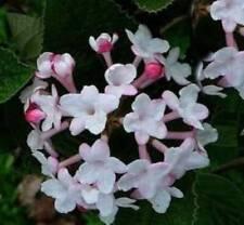Coreano profumo PALLA DI NEVE AURORA 30-40cm Viburnum carlesii