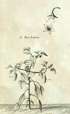 Piper indicum Pimienta de Guinea Botánica Geoffroy Garsault Grabado XVIII