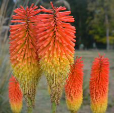 RED HOT POKER,  KNIPHOPFIA, 115 SEEDS, LOVELY RED-ORANGE FLOWERS, EZ TO GROW
