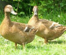 12+ Khaki Campbell duck hatching eggs