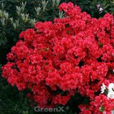 5 Stück Japanische Azalee mit rosa Blüten Rhododendron Kermensina Winterhart