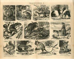 1882 SQUIRREL GUINEA PIG BEAVER MICE PACA FLYING SQUIRREL AntiqueEngraving Print