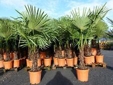 XXL Palme winterhart 170 cm,Trachycarpus fortunei, Hanfpalme