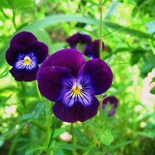 PANSY Viola King Henry Seeds (F 240)