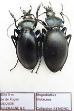 Carabus megodontus violaceus (pair A1) from GERMANY
