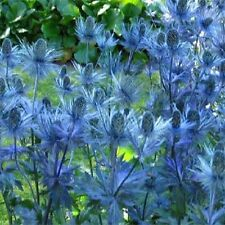 100 Sea Holly Seeds Eryngium Alpinum Light Steel Blue Color Metallic BULK SEEDS