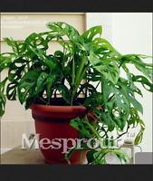 10 Kinds Mix Philodendron Bonsai Vine Leaf Indoor Plants Tree NEW 100 Pcs Seeds