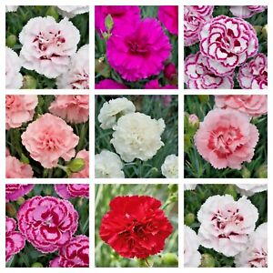 Dianthus Fragrant Garden Carnations/Pinks In 9cm Pots Will Flower This Year