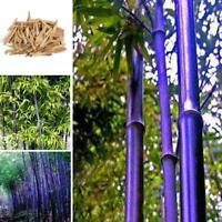 Lila Bambus Samen Subtropen Hof Bonsai Samen CHPH