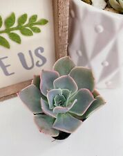Echeveria Subsessilis 'Morning Beauty' Succulent (2 inches pot)