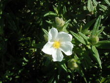 Cistus Monspeliensis 50 graines 50 Seeds Rock Rose Marine