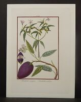 Solanum Botanical Fruit  c.1830's  G-J1#05