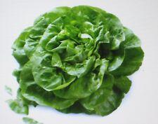 Butterhead*Buttercrunch Lettuce*200 Seeds