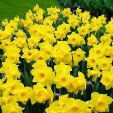 20 Daffodil 'King Alfred II' Flower Bulbs Planting Gardening Narcissus