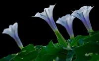 Mini Blue Angel Datura Trumpets Seeds 80 Seeds --BUY 4 ITEMS FREE SHIPPING