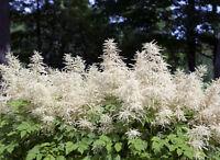 Der Wald-Geißbart füllt schattige Ecken im Garten mit seiner Blütenpracht.