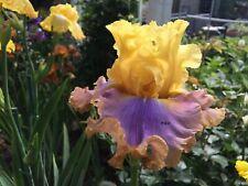 Tall Bearded Iris ~Catwalk Queen~